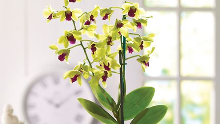 Dendrobium Orchid Anna Green. PA Photo/Thompson and Morgan
