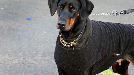 A Doberman dog. Picture: PA Wire