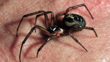 False widow spider species found in the south of England. Picture: The Natural History Museum