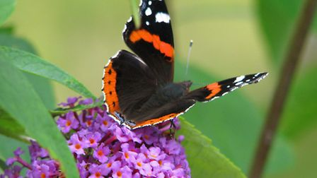 A Red Admiral on Buddleia. Picture: Nigel Sutton