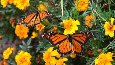 Monarch Butterflies in a wildife garden. PA Photo/thinkstockphotos