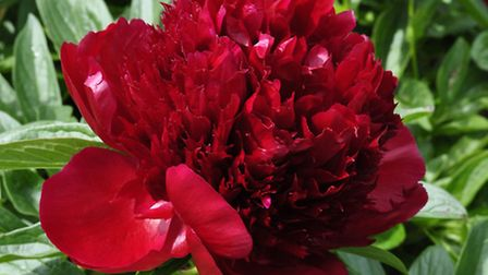 Peony Red Charm, available from Claire Austin. PA Photo/Handout