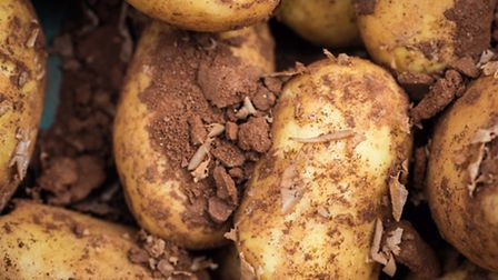 Potatoes are a relatively easy crop to grow but there are a few common problems that should be avoid