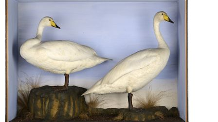 A case of whooper swans by Hibbs of Ollerton, �800-1,200