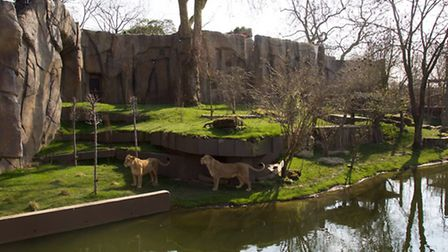The lionesses survey the new enclosure inspired by the Asiatic lion's native habitat of the Gir fore