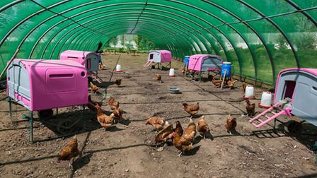 Rhode Island Red Chickens, The Clink Gardens at HMP Send, Surrey. PA Photo/Nishi Sharma