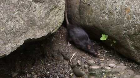 Caught on camera: Rats at the water feature in Butterfield Green
