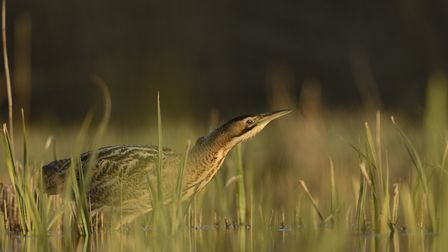Bittern numbers have increased across the UK despite recording a drop in East Anglia. Picture: Ben A