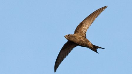 A common swift - a species suffering serious declines. Picture: DOUG MACKENZIE DODDS