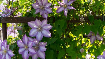 Lush lilac-coloured clematis flowers in bloom. PA Photo/thinkstockphotos