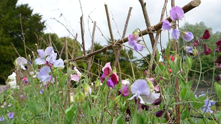 Pink and lilac sweetpeas in a garden. PA Photo/thinkstockphotos