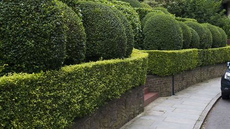 Highgate Topiary, Privet and Spotted Laurel clipped into Rounded Forms in front of South Close mansi
