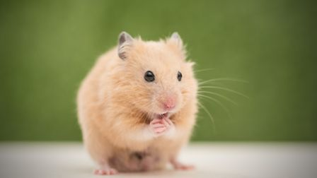 Did you hear the one about the indestructible hamster?