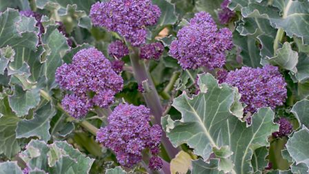 Purple sprouting broccoli growing in a garden. PA Photo/thinkstockphotos