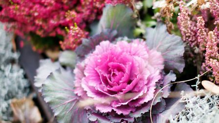 A winter pot featuring ornamental cabbage. PA Photo//Squire's Garden Centres.