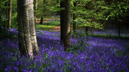 Bluebells growing in the woods. PA Photo/thinkstockphotos