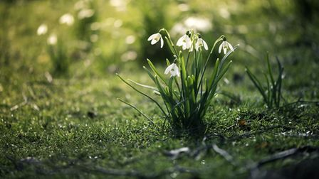Snowdrops in bloom. PA Photo/thinkstockphotos