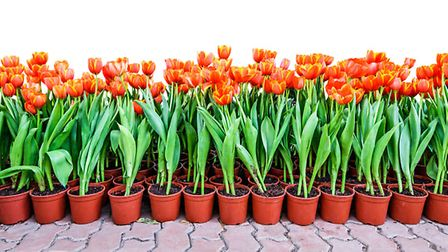 Tulips growing in separate pots. PA Photo/thinkstockphotos
