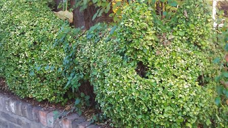 Stella Magarshack trimmed the outside of the hedge in her front garden into the shape of a cat