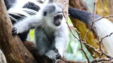 The colobus monkey troop will be moved from the Gorilla Kingdom to the aviary under the plans. Photo