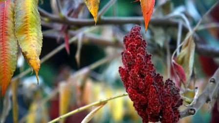 Rhus (sumach). PA Photo/thinkstockphotos
