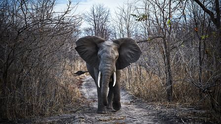 Elephant walking on forest trail, Malawi. Picture: Jonathan Gregson/Lonely Planet