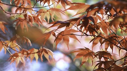 The leaves on a Japanese Maple tree. PA Photo/thinkstockphotos