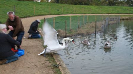 Pen returns to the boating pond to look for her mate