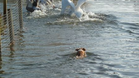 A dog chasing the swan family that lives on Hampstead Heath's Model boating Pond Picture: Ron V