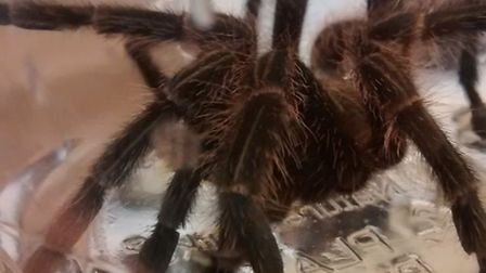 The spider is thought to have travelled more than 5,000 miles from Costa Rica. Picture: RSPCA