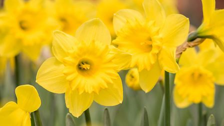 Daffodils in bloom. PA Photo/thinkstockphotos