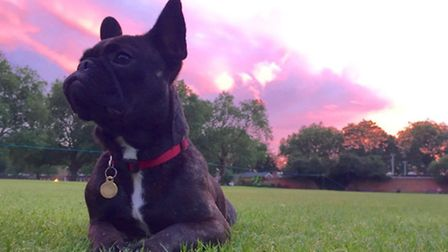 Patti the French Bulldog has gone missing. Picture: Laura Bradley