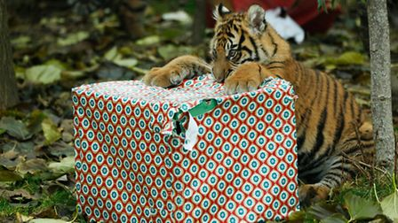 Quick work for one tiger cub. Photo: ZSL London Zoo