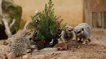 The meerkats were more interested in foraging for pine cones. Photo: ZSL London Zoo