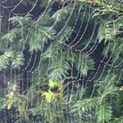 Spider web over an evergreen tree