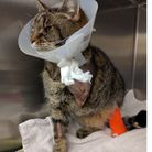 Ruby after having her leg amputated. Picture: RSPCA.