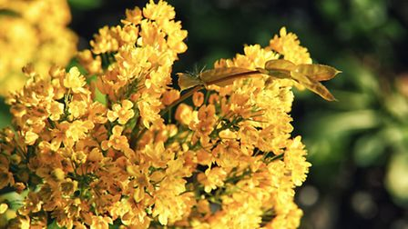 The bright yellow flowers of Mahonia. PA Photo/thinkstockphotos