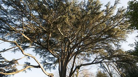 Cedar Tree at Holly Lodge Estate