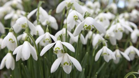 Snow drops. Picture: PA PHOTO/NATIONAL TRUST/BERNIE BROWN