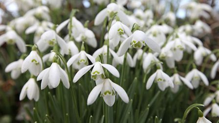 A close-up of some snowdrops. PA Photo/National Trust/Bernie Brown