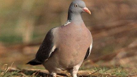 Wood pigeon. Picture: RSPB