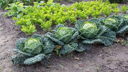 A garden cabbage patch
