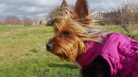 Lily, the Yorkshire terrier who is missing