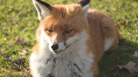 A fox in a local park. Picture: STEVE PLASTOW