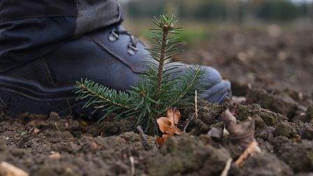 A tiny three-year-old Nordman Fir tree at the Christmas tree farm in Wrentham. Picture: Denise Bradl