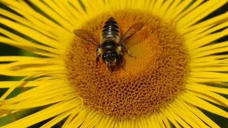 A leafcutter bee on a flower