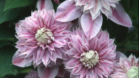 Compact clematis can be something quite special, says Raymond Evison. Here, the purple clematis Jose
