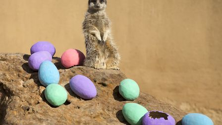 A meerkat with a variety of eggs at London Zoo. Picture: ZSL