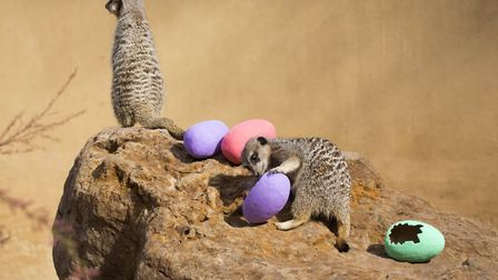 Meerkats with a variety of eggs at London Zoo. Picture: ZSL