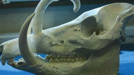 Part of a deer pig's skull. Picture: MPS